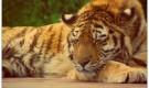 Sleeping Tiger Jigsaw rıhatlatan oyunlar